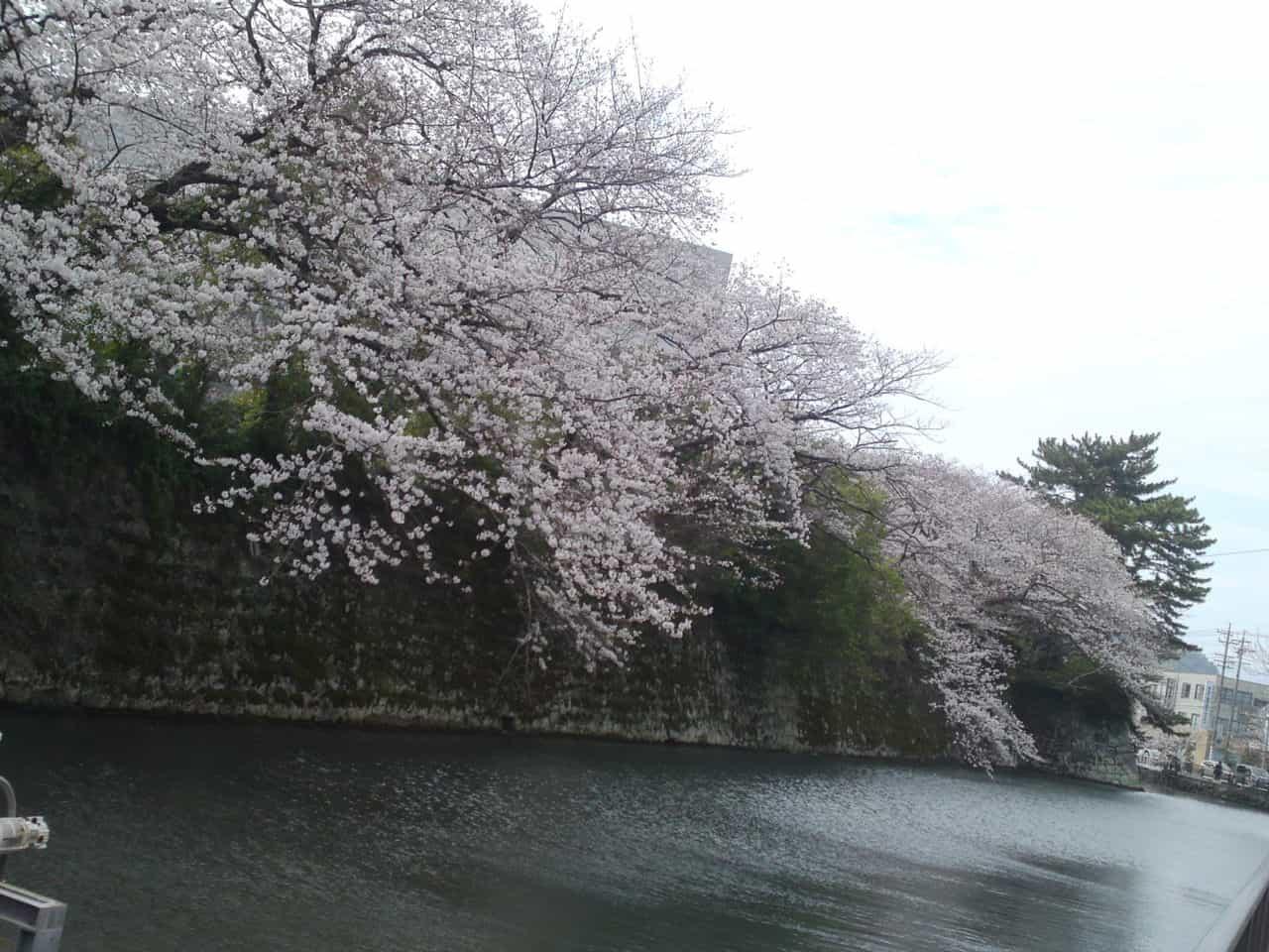 cherry,blossom,flowers,bloom,shizuoka,japan,sunpu,castle,sumpu