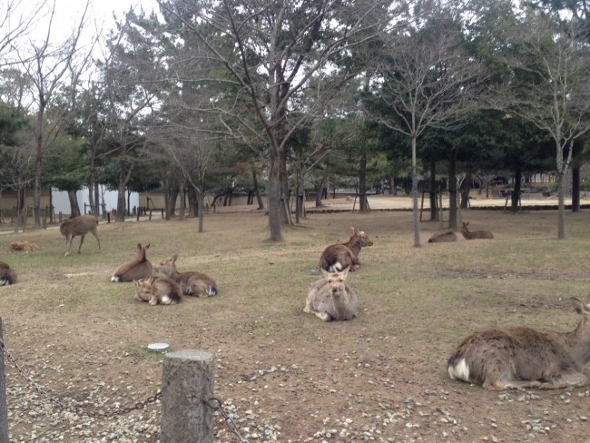 Deers rest and play in Nara park