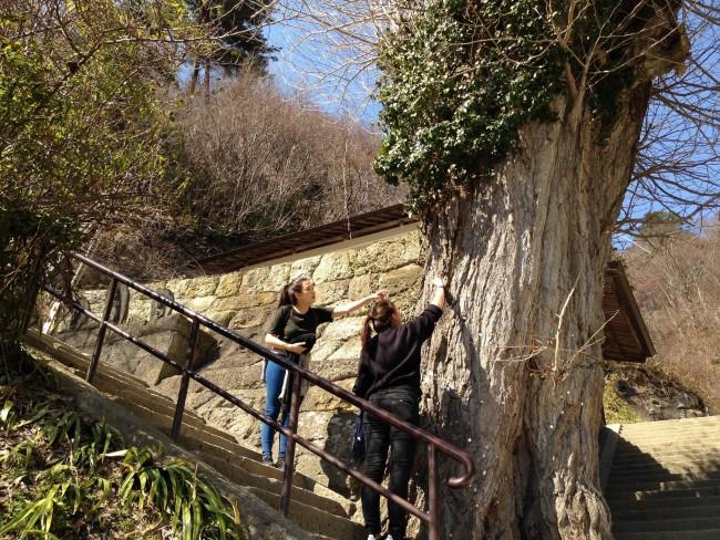 Tree near Yamadaera Temple mountain.