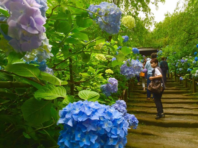 During rainy season,you'll be surrounded by various colorful types of hydrangea