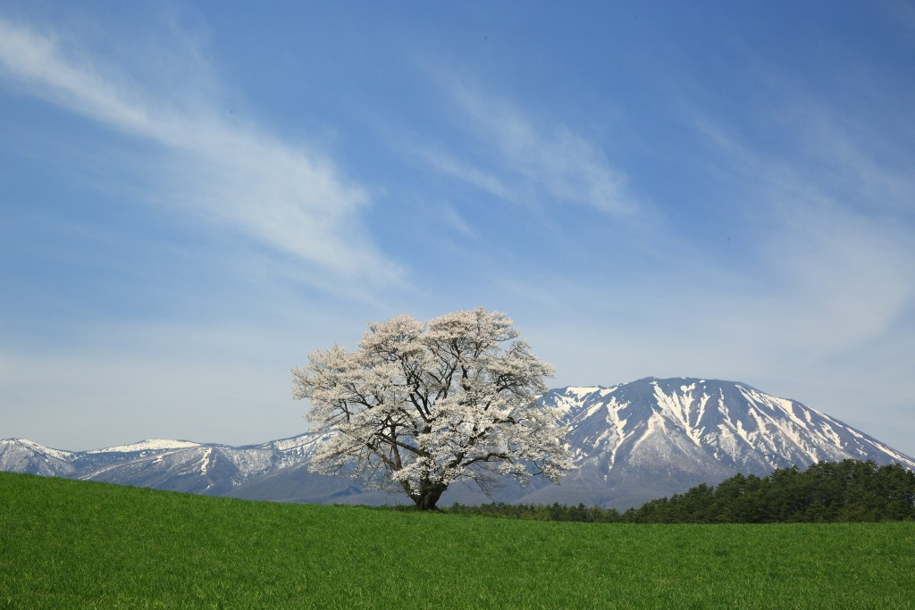 This tree of cherry blossom is the symbol in koiwai