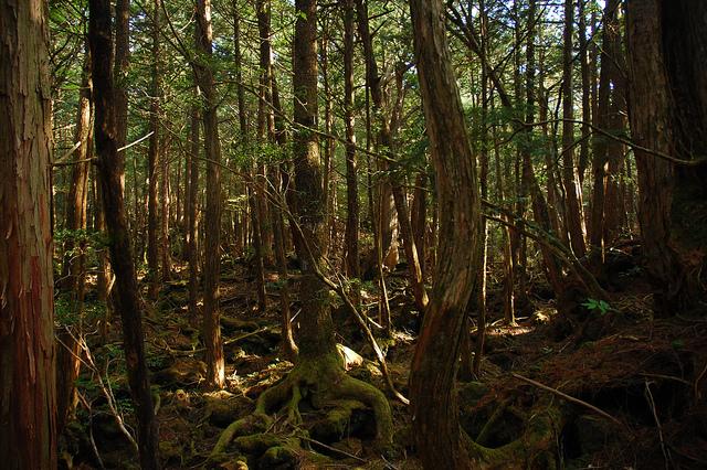 haunting trees of Aokigahara forest near Mt Fuji.