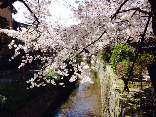 Sights walking the Kyoto Philosopher's Path: Cherry blossom trees