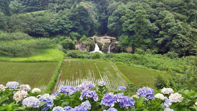 A waterfall sourrounded by nature past a field of vegetables in Kagoshima. Blue flowers on the bottom of the picture .