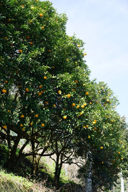 amanatsu trees are ripe, Cycling in Nokonoshima Fukuoka