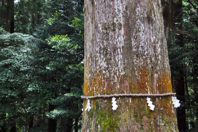 Holy tree at Kirishima Jingu Shrine.