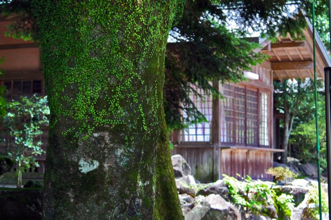 Tree with moss on it with a house in the background near Kirishima Jingu Shrine.
