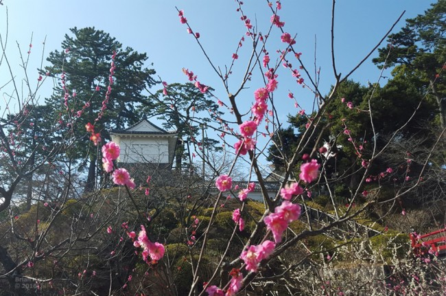 cherry blossom buds in Odawara Castle in Japan