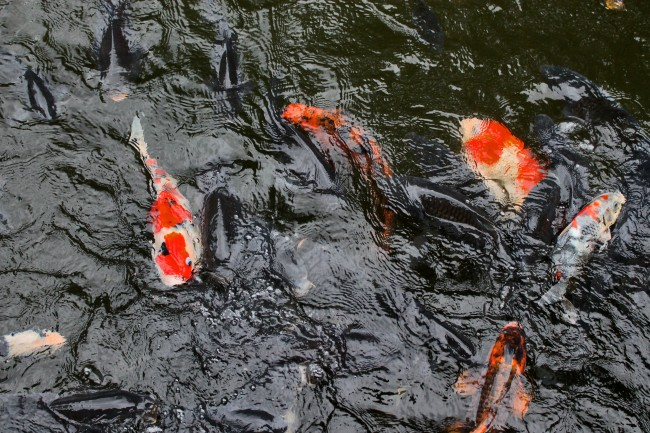 Kagoshima Sengan-en carp in the pond.