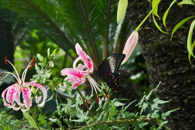 Kagoshima Sengan-en garden with a black butterfly on a flower.