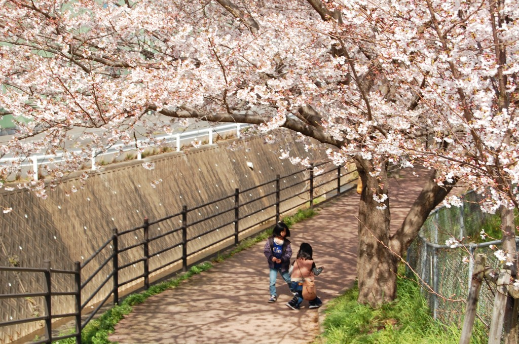 Above a sidewalk there are cherry blossoms in Kodago.