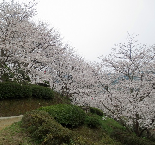 cherry blossom trees in Nakao castle park