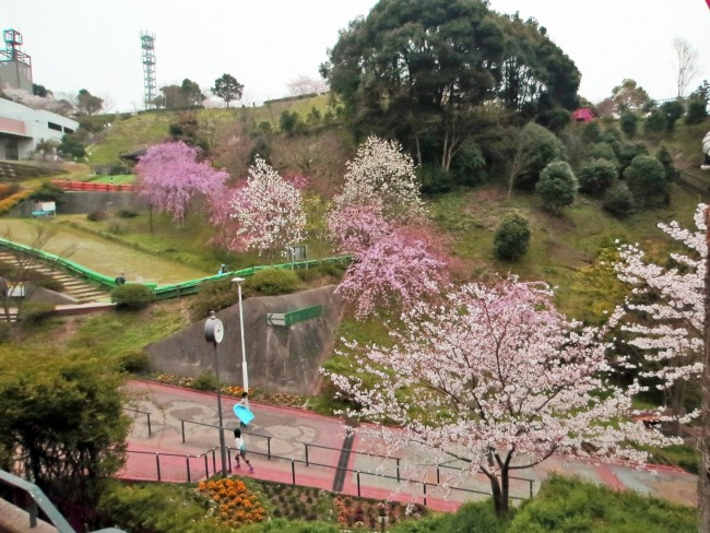 Different specimens of cherry blossom in the 'castle park' on the mountain