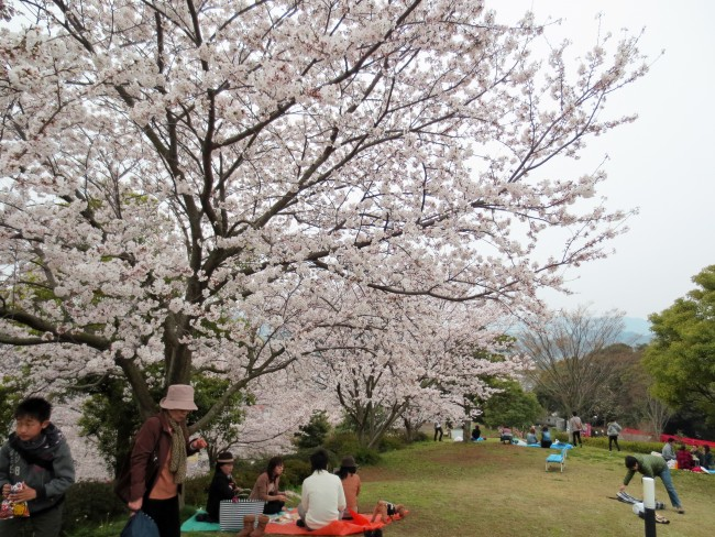 hanami session and cherry blossom trees in Nakao castle park