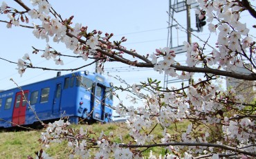 The cherry blossoms in Kodago before the train.