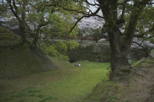 Picnicking at Kumamoto castle under cherry blossom trees