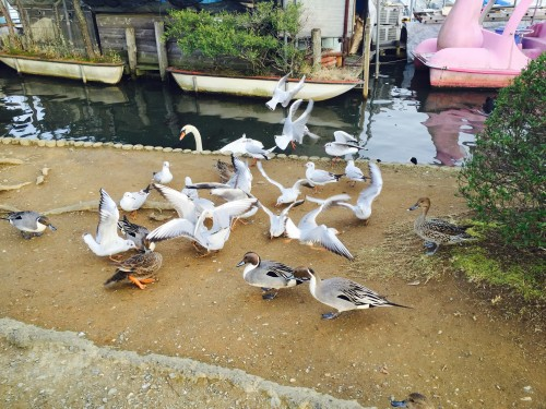 Senba Lake duck feeding nearby Kairakuen Garden, Ibaraki Prefecture