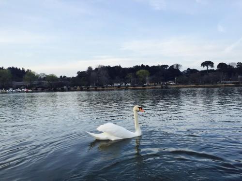 Senba Lake has many white swans flocking nearby plum blossoms over Kairakuen Garden, Ibaraki prefecture
