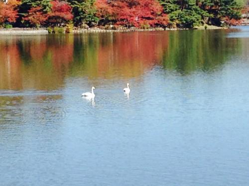 swans swimming in Takamatsu pond in Morioka