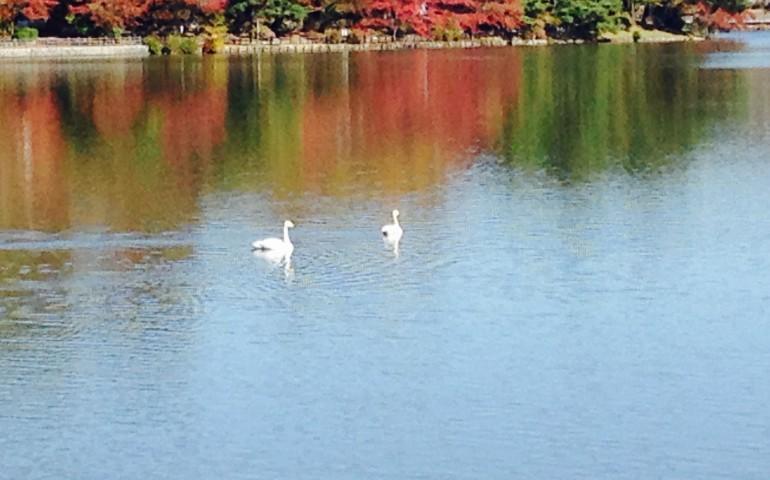 Pond, Cherry blossom, Hanami, Sakura, Swans, Autumn,