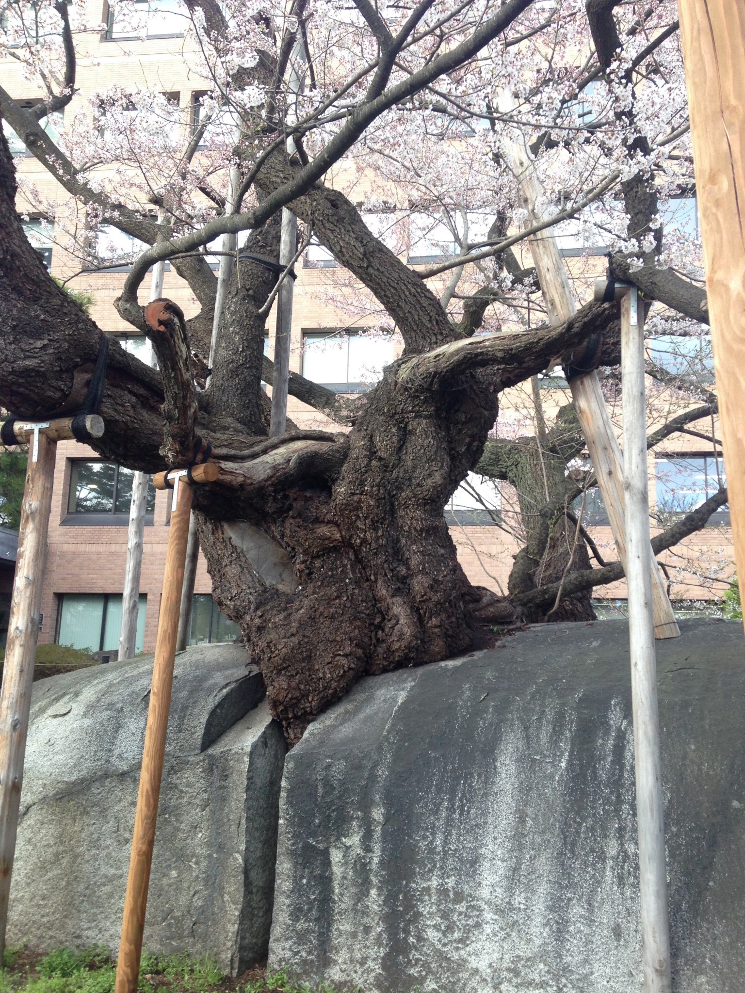 Ishiwari Zakura Visit The Famous Rock Splitting Cherry Tree