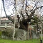 Ishiwari Zakura: Visit the Famous Rock Splitting Cherry Tree