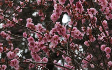 Hanami, Cherry blossom, Sakura, Castle, Park, Morioka, Iwate,