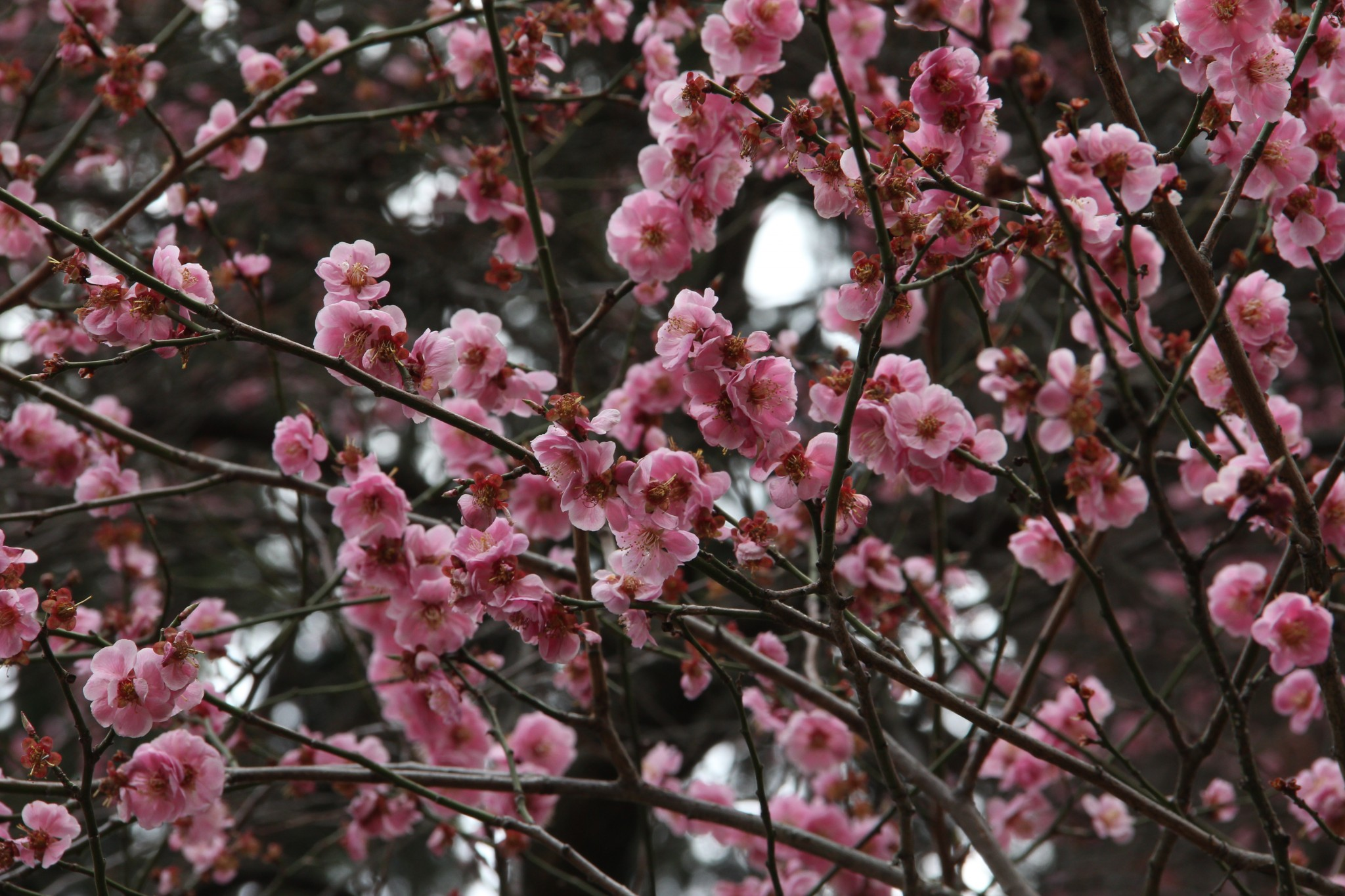 Is there still time for hanami (cherry blossom viewing)?