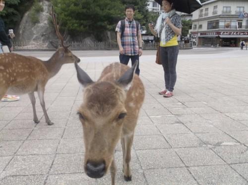 Deer in Miyajima Island