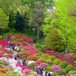 Over 100 species of azalea plants at this festival