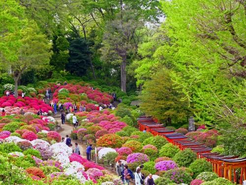 Greenery framing Nezu Shrine azalea garden, Tokyo Azalea Festival