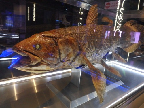 The ancient coelacanth on display at the coelacanth museum