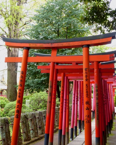 Shrine gate colors complement blooming azalea garden at Nezu Shrine, during its Azalea Festival