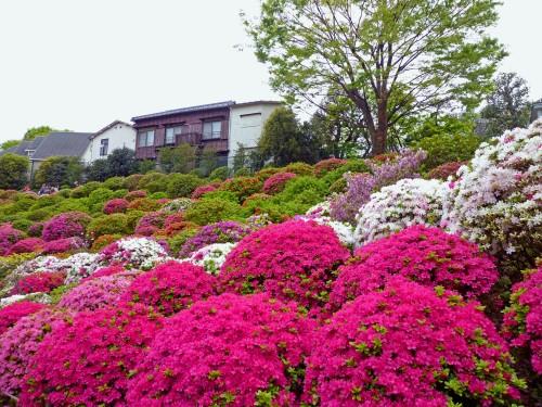 Houses behind azalea garden at Nezu Shrine during its Azalea Festival