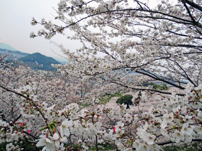 Nakao castle park welcomes all hiking lovers with more than 530 cherry blossom trees on the mountain