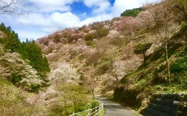 Mount Yoshino, Yoshinoyama, hiking, mountain, sakura, cherry blossoms