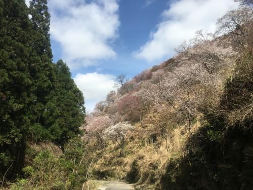 Mount Yoshino, mountain cherry blossoms over green - Nara