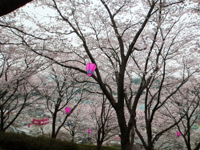 """Yama sakura (cherry blossom)"" arranged with little Chinese lamps for the light up in Nakao mountain"