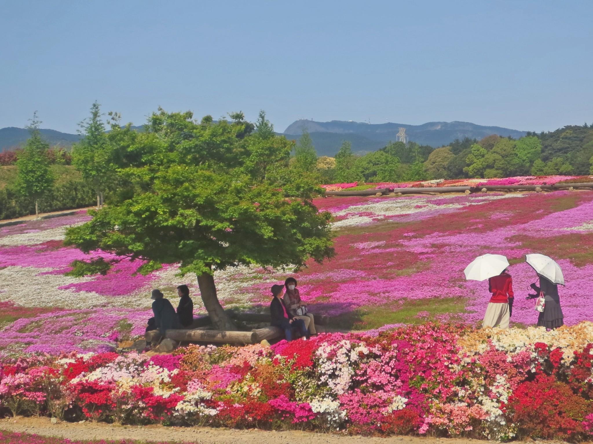 Matsumoto Azalea Park, a Flower Paradise in Nagasaki!