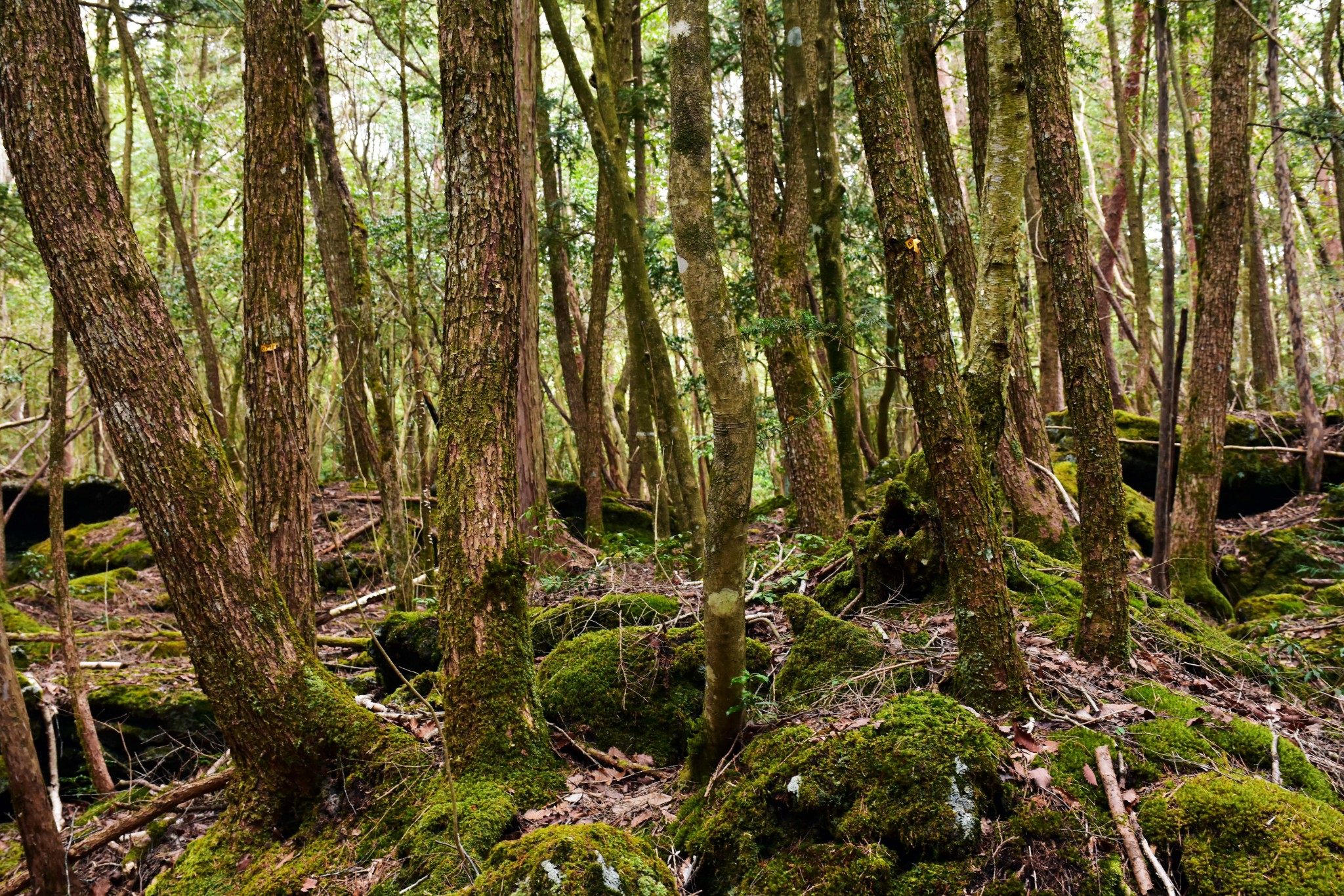 Trees found in the forest of Aokigahara while hiking.