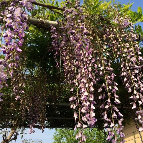 fragrant wisteria hang above in Amakusa Garden in Kumamoto