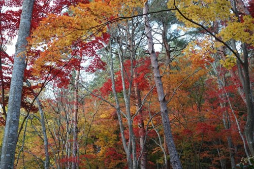 The walking course in Takayama lets one catch the trees gradually turning red.