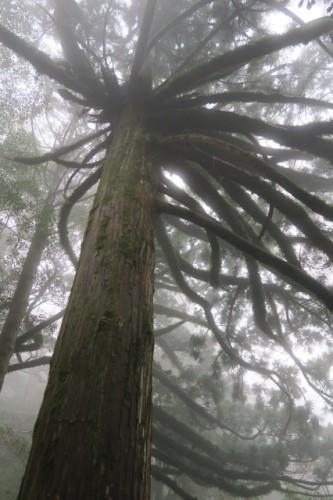 A big tree on the way of my trail, in Yakushima, Kagoshima, Japan.