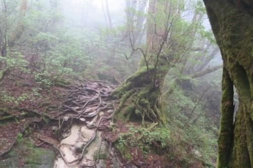 A hiking trail in Yakushima, Kagoshima, Japan.