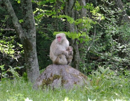 Kamikochi is home to a lot of Japanese Macaque which unfortunately are not very afraid of people and tend to hang around where all the people do.