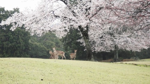 Deers under the cherry blossom promise that you'll be moved