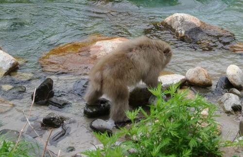 Monkey in Kamikochi, enjoying the river!