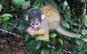Monkey Park Ishigaki Yaima Village Okinawa Japan Mangrove Animals Nature