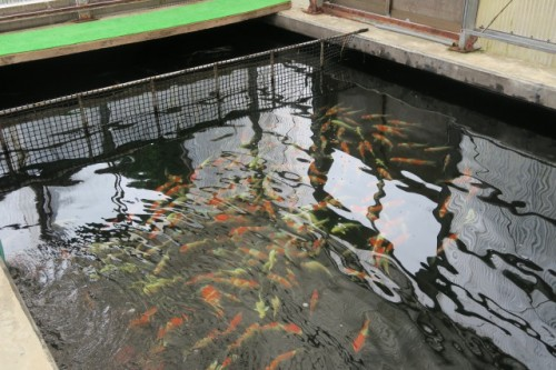 The birthplace of Japanese carp ( Koi Fish )