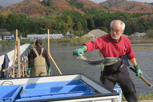 An age old tradition: Genki old men fishing Salmons without rods